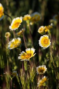 Carrizo Plains Flowers 20170402-211