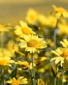 Carrizo Plains Flowers 20170402-625