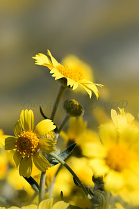 Carrizo Plains Flowers 20170402-622-Edit