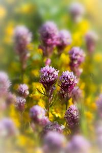 Carrizo Plains Flowers 20170402-269-Edit