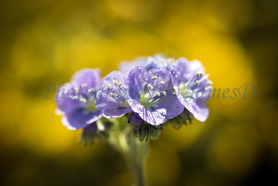 Carrizo Plains Flowers 20170402-325
