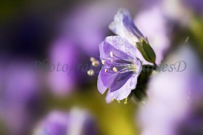 Carrizo Plains Flowers 20170402-336-02