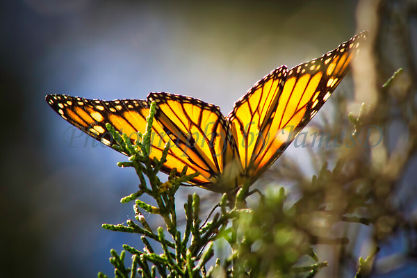 Monarch on a Juniper
