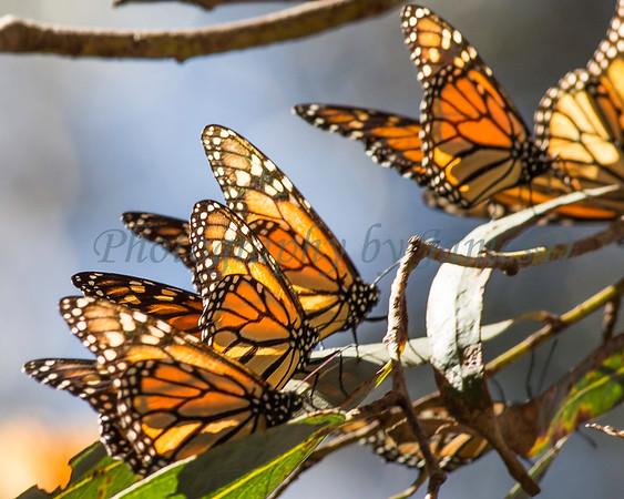 Monarch's on Eucalyptus