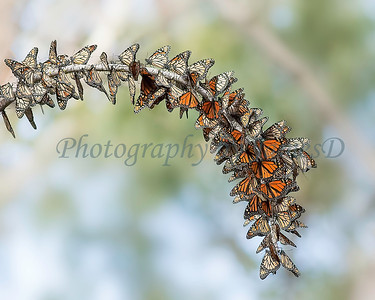 Branch of Monarchs