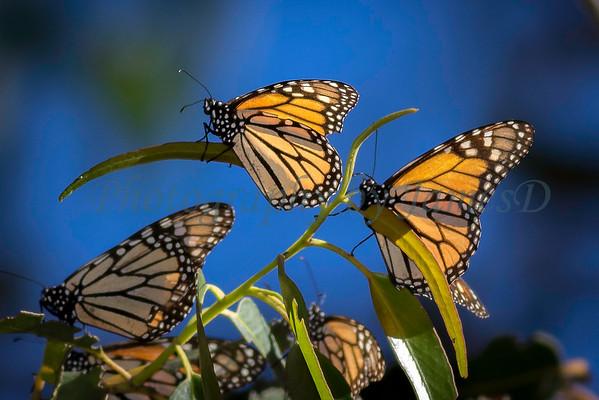 Monarch Butterfly Grove 20170128-38