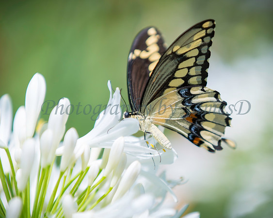 White Flowers and Swallowtail