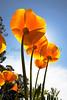 Poppies (20110329)