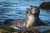 Elephant Seals 24x16