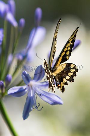 Swallowtail 02