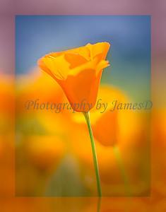 Poppy_(18x24x300dpi)Canvas_Wrap