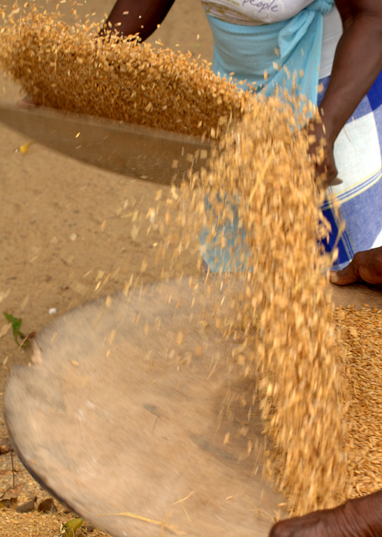 Women toss pounded rice to separate the husks from the grain in Pokigron