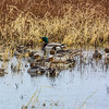 Northern Pintail & Mallard