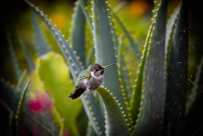 Hummingbird in a cactus garden