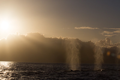 Humpback Whale Pod at Sunset