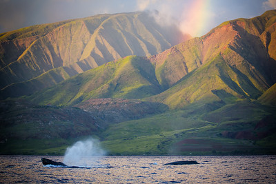Humpback Whales swim past West Maui Mountains