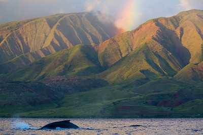 Humpback Whale dives near rainbow on West Maui