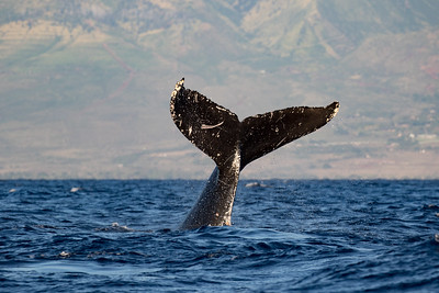 Humpback Whales in Maui, Hawaii