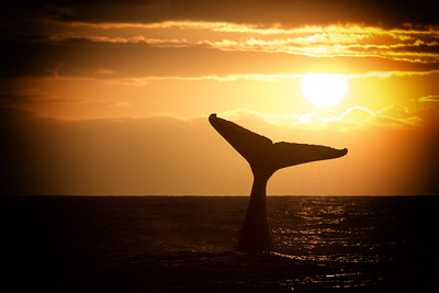 Humpback Whale Tail at Sunset