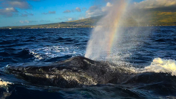 Humpback Whale blowing Rainbows