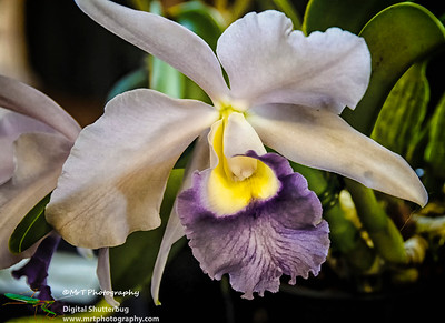 Cattleya Itsa Blue Ribbon Day Waitakere Orchid Club Whenuapai