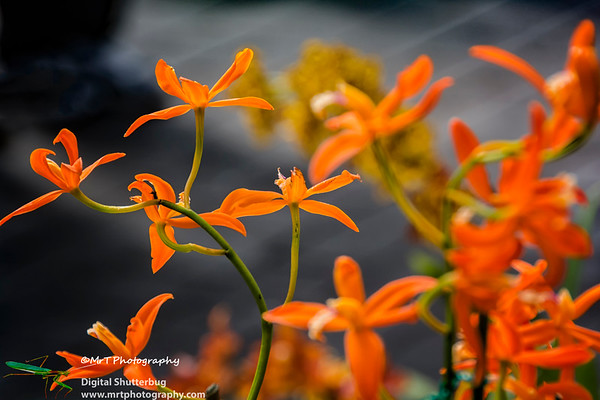 Laelia harpophylla x Laelia angereri