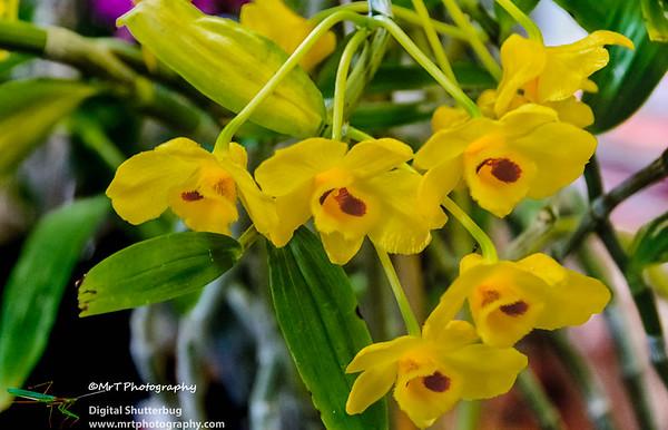 Dendrobium chrysanthum Ribbon Day Waitakere Orchid Club Whenuapai