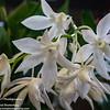Dendrobium White Grace<br /> Ribbon Day<br /> Waitakere Orchid Club<br /> Whenuapai