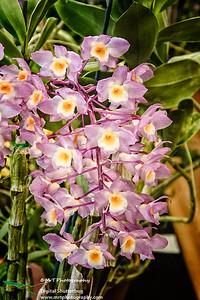 Dendrobium amabile Ribbon Day Waitakere Orchid Club Whenuapai