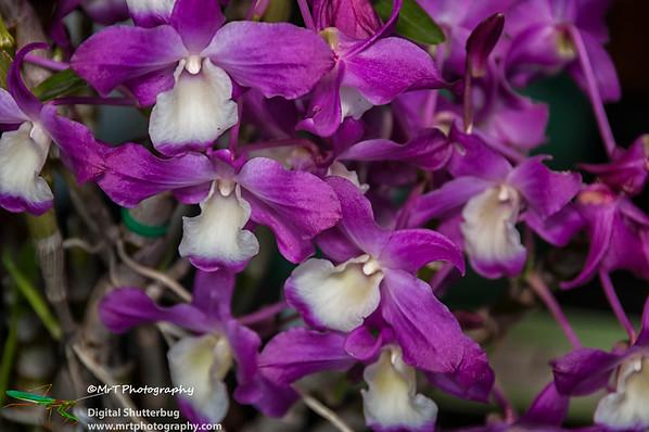 Dendrobium Amanogawa