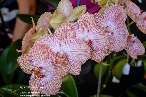 Phalaenopsis Ribbon Day Waitakere Orchid Club Whenuapai
