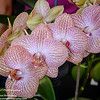 Phalaenopsis<br /> Ribbon Day<br /> Waitakere Orchid Club<br /> Whenuapai