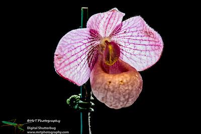 Paphiopedilum Magic Lantern Ribbon Day Waitakere Orchid Club Whenuapai
