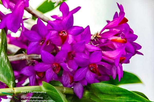 Dendrobium Paradise Lorna X Plimeratum Ribbon Day Waitakere Orchid Club Whenuapai