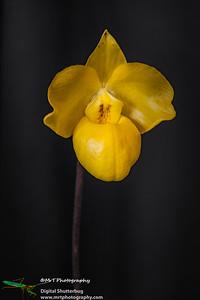 Paphiopedilum armeniacum