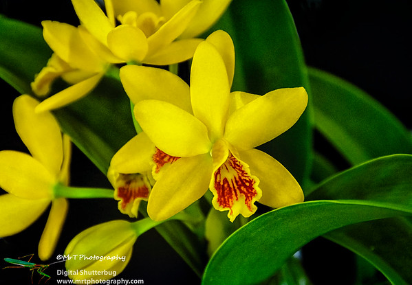 Cattleya Lucky Chance X Gcy Kyogushi Ribbon Day Waitakere Orchid Club Whenuapai