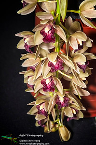 Cymbidium Mary Green 'Champ'