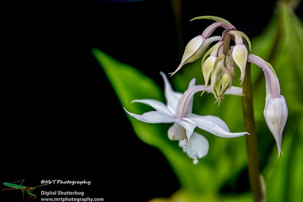 Calanthe arisarensis