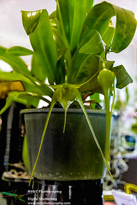 Aeranthes grandiflora Ribbon Day Waitakere Orchid Club Whenuapai