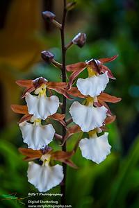 Rhynchostele bictoniensis (Bateman) Ribbon Day Waitakere Orchid Club Whenuapai