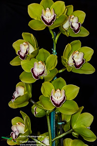 Cymbidium Cymbiflor Apple