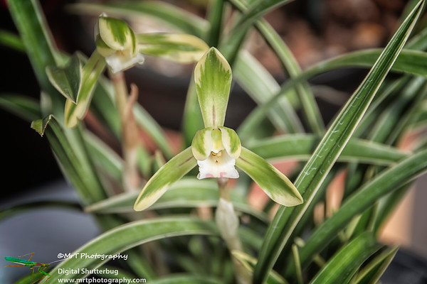 Cymbidium goeringii 'Mountain Snow'