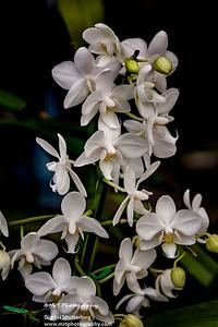 Phalaenopsis Silibama