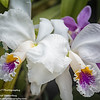 Cattleya mossiae semi alba