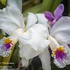 Cattleya mossiae semi alba