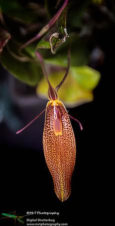 Restrepia elegans
