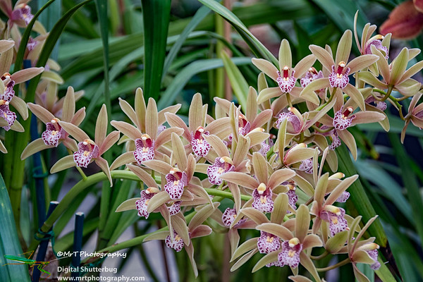 Cymbidium Little Kiwi 'E'