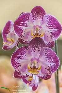 Phalaenopsis Jiuhbao Fairy Ribbon Day Waitakere Orchid Club Whenuapai