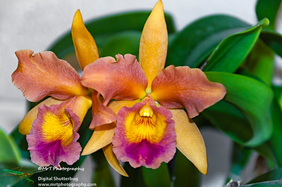 Brassolaeliocattleya Mildred Holingsworth