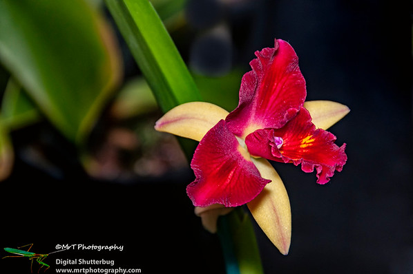 Sophrolaeliocattleya fire magic solar flare
